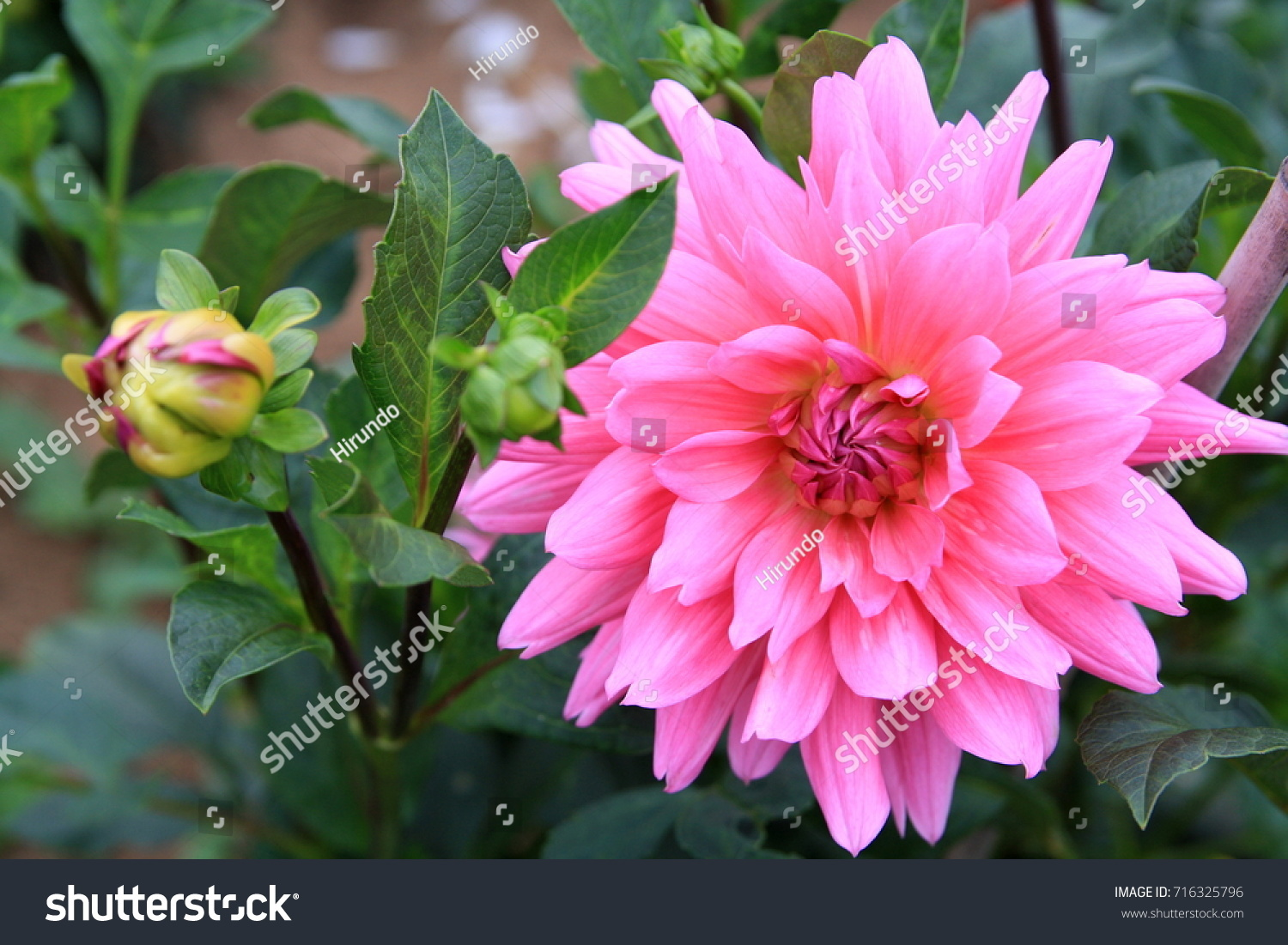 Dahlia flower that adorns late summer stock photo royalty free dahlia a flower that adorns the late summer and autumn garden with bright colors izmirmasajfo