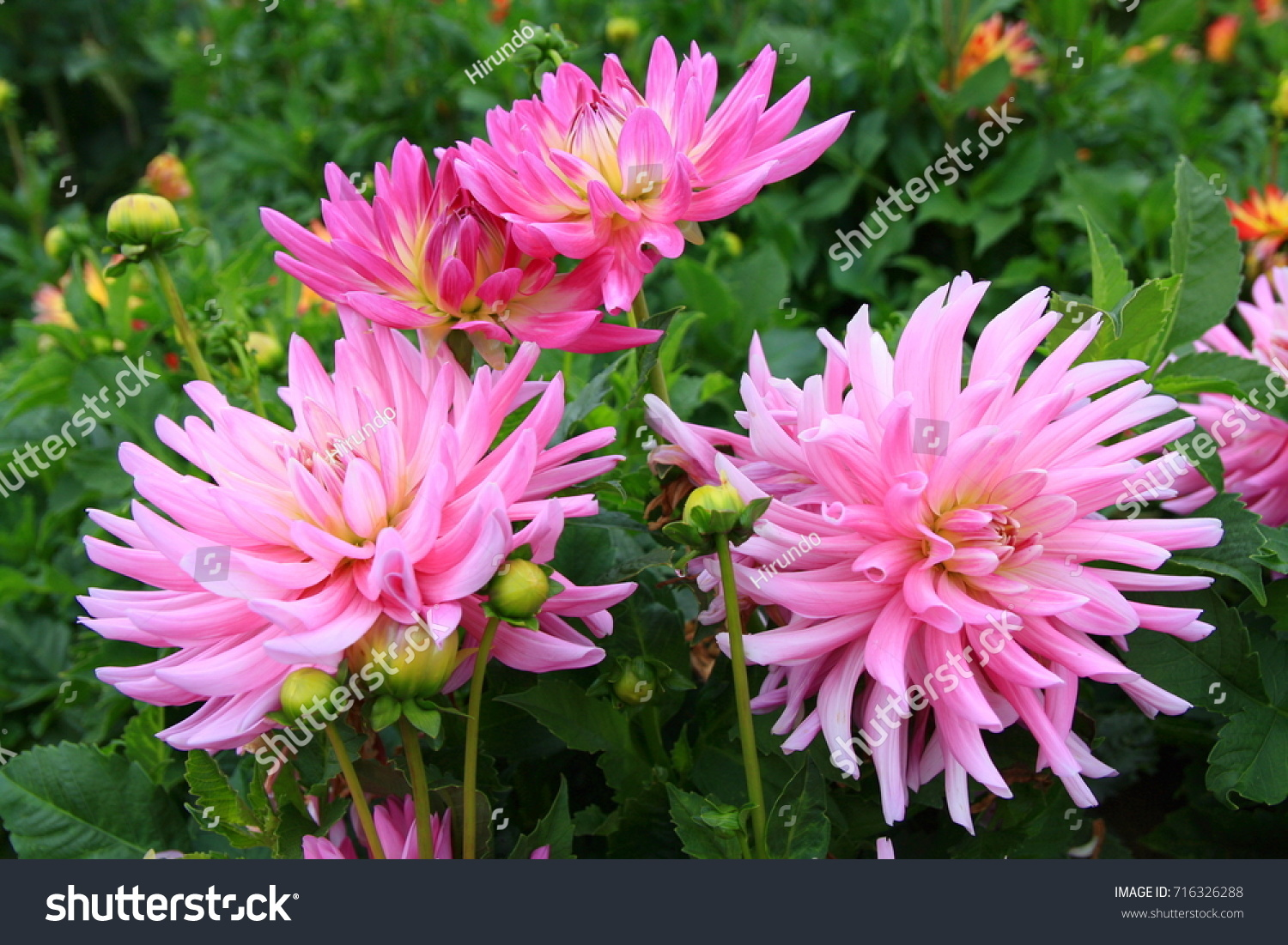 Dahlia Flower That Adorns Late Summer Stock Photo Royalty Free
