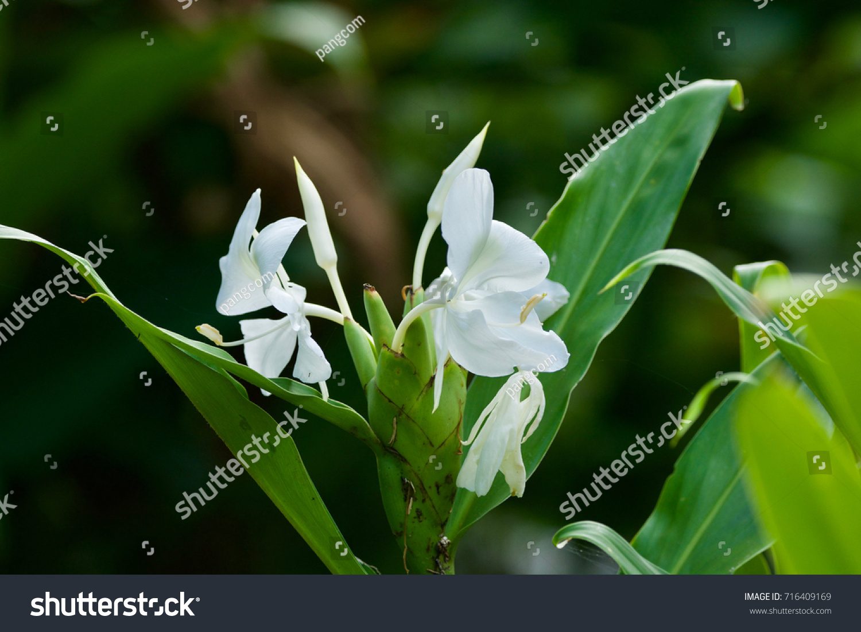 Hedychium Coronarium White Ginger Flower On Stock Photo Edit Now