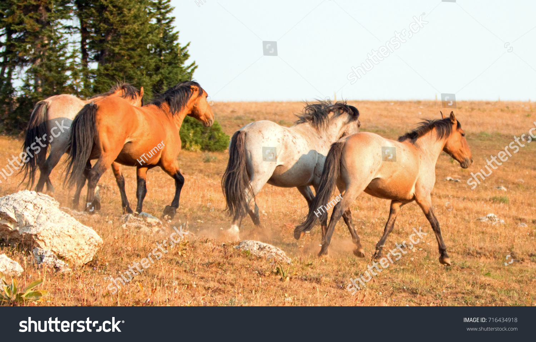 Wild Horses Mustangs Running Before Fighting Stock Photo Edit Now 716434918