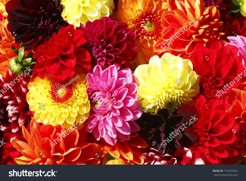 Colorful dahlias flowers on flower market stock photo 716472202 colorful dahlias flowers on a flower market izmirmasajfo