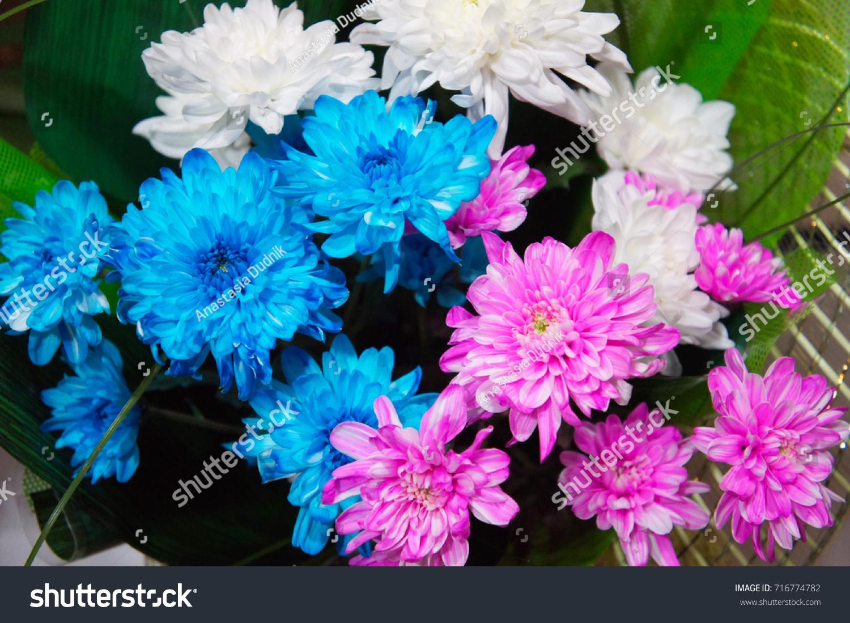 White Blue Pink Chrysanthemum Flower Shop Stock Photo Royalty Free