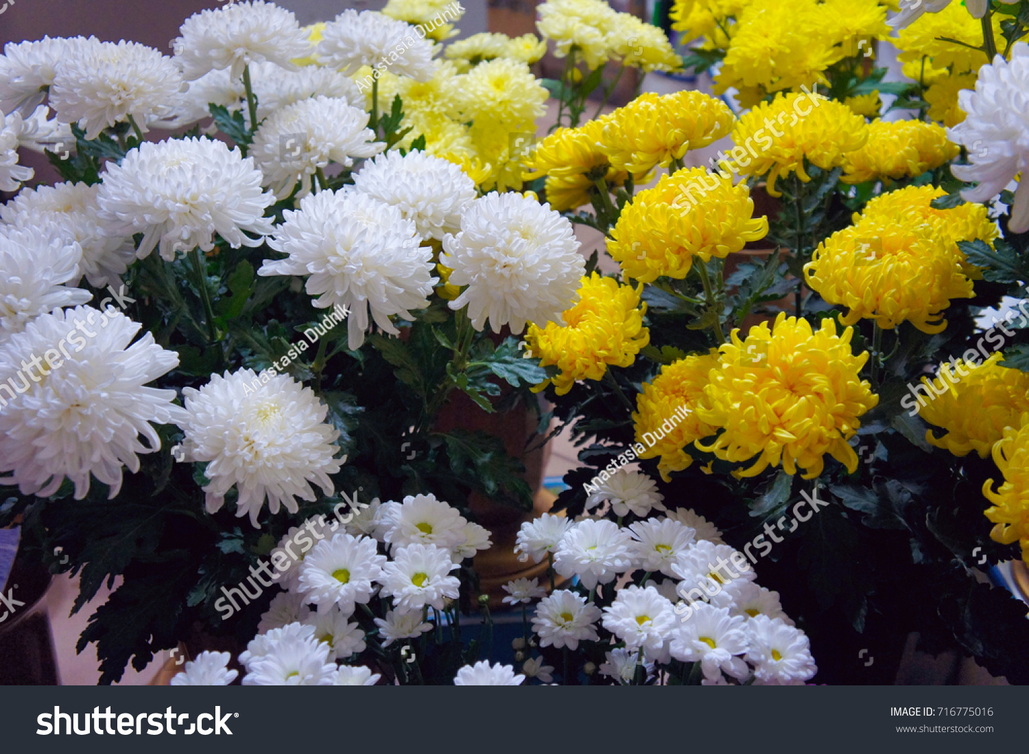 White Yellow Chrysanthemum Flower Shop Bouquet Stock Photo Edit Now