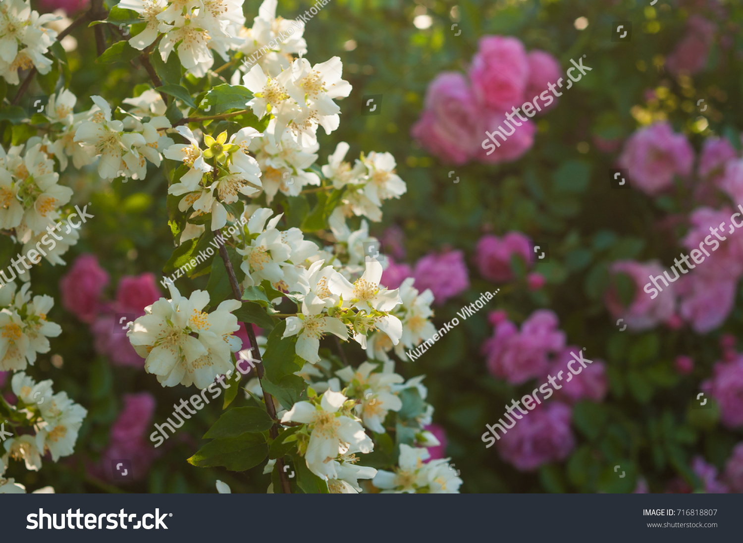 Bush white jasmine pink roses garden stock photo royalty free a bush of white jasmine and a pink roses a garden arrangement of white and izmirmasajfo