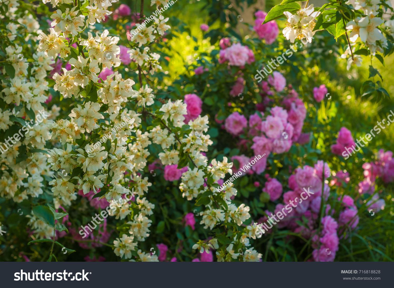 Bush white jasmine pink roses garden stock photo 716818828 bush white jasmine pink roses garden stock photo 716818828 shutterstock izmirmasajfo