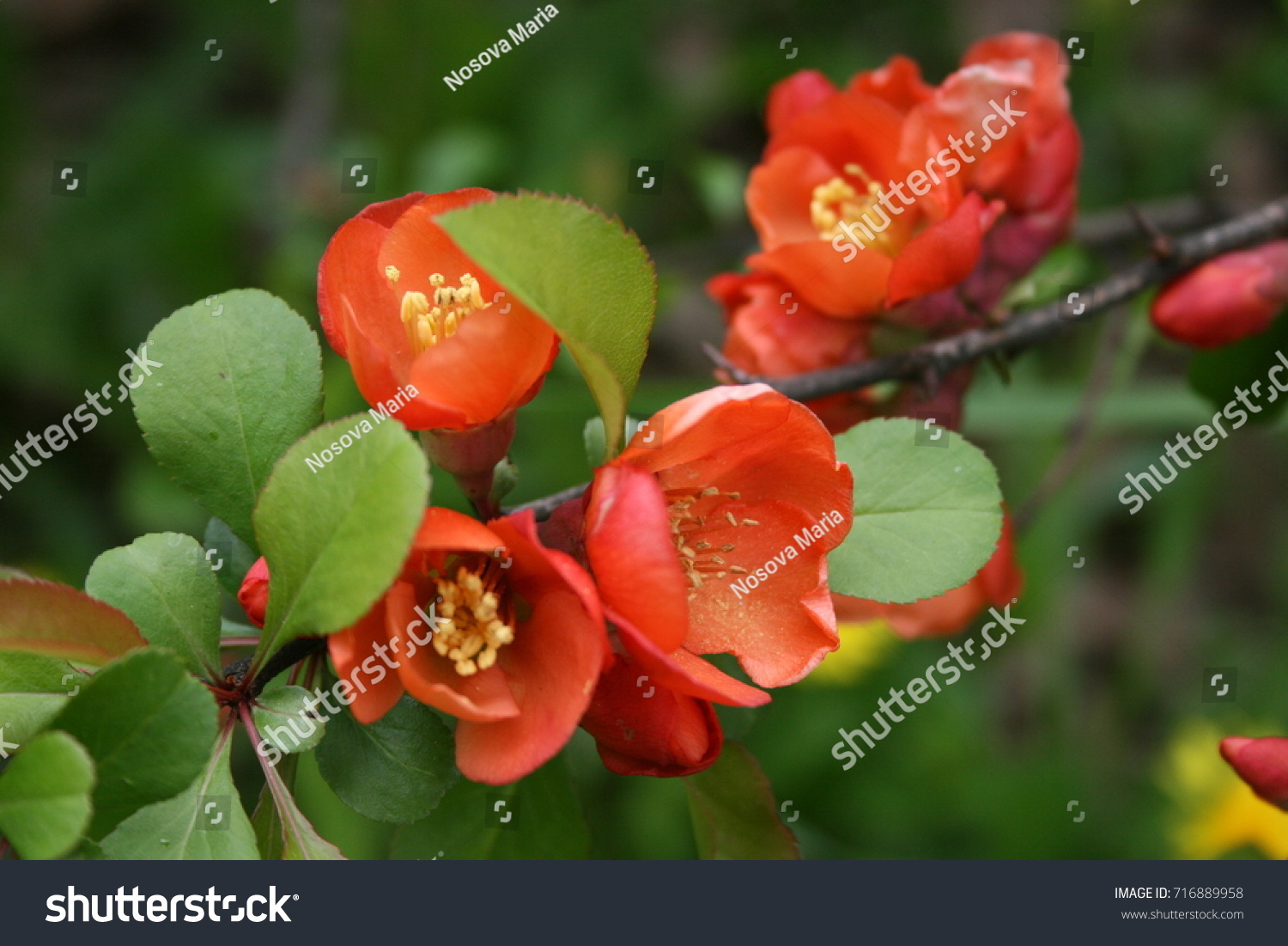 Flowers japanese quince chaenomeles japonica stock photo 716889958 flowers of japanese quince chaenomeles japonica biocorpaavc Image collections