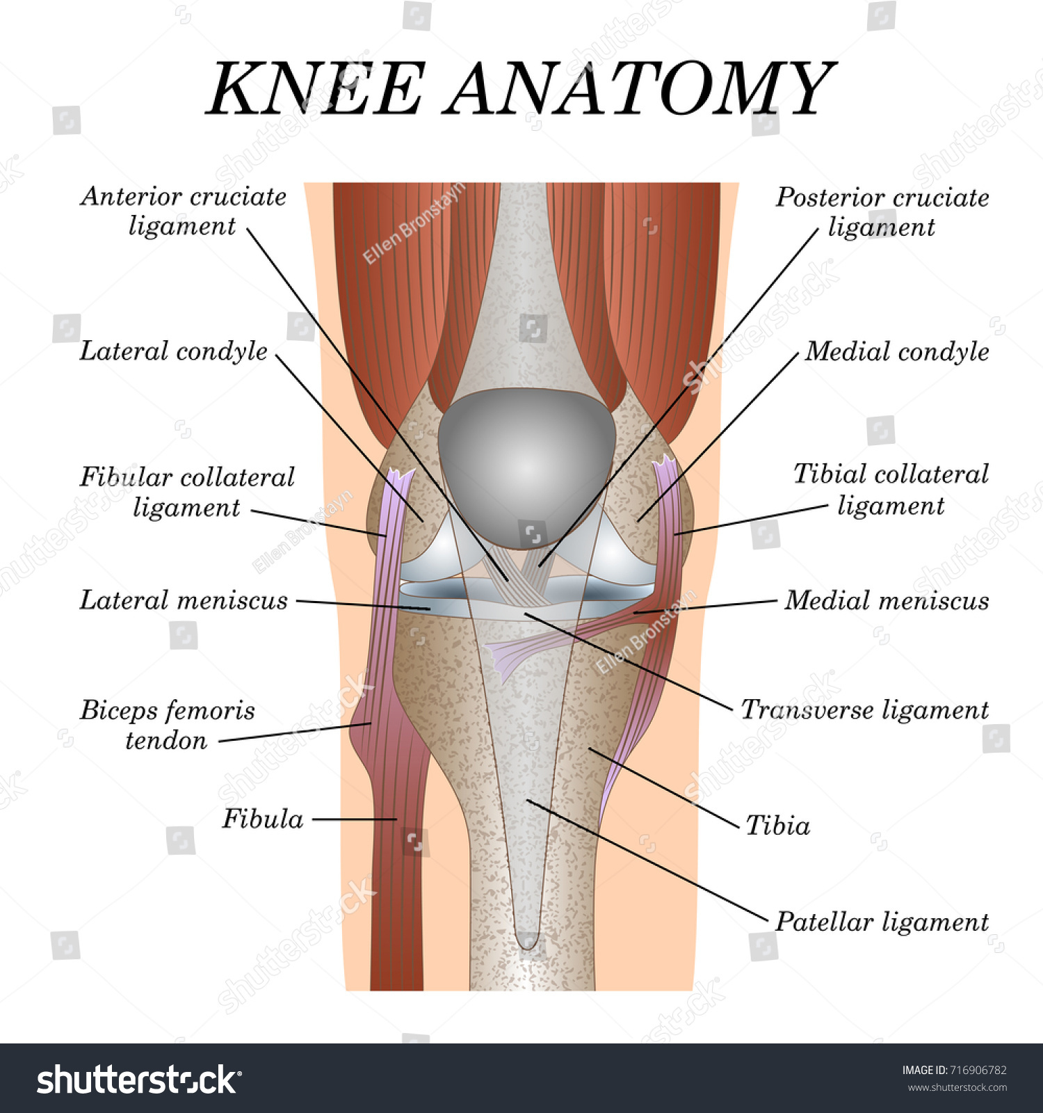 Anatomy Knee Joint Front View Template Stock Illustration 716906782 ...