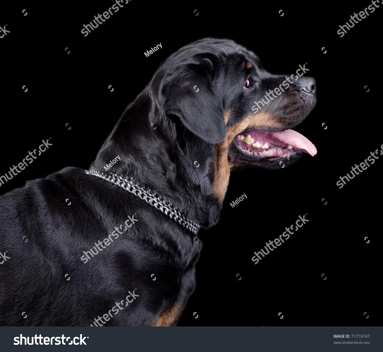 Rottweiler Wallpaper: Rottweiler Isolated On Black Background Stock Photo