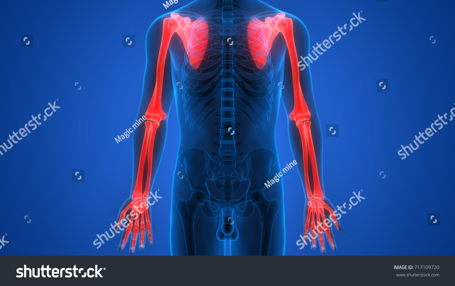 Human Skeleton Bones Anatomy Upper Limbs Stock Illustration ...