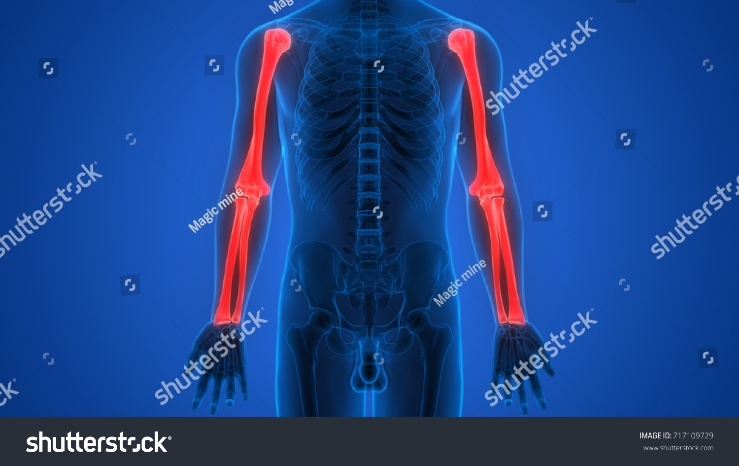 Human Skeleton Bones Anatomy Humerus Radius Stock Illustration