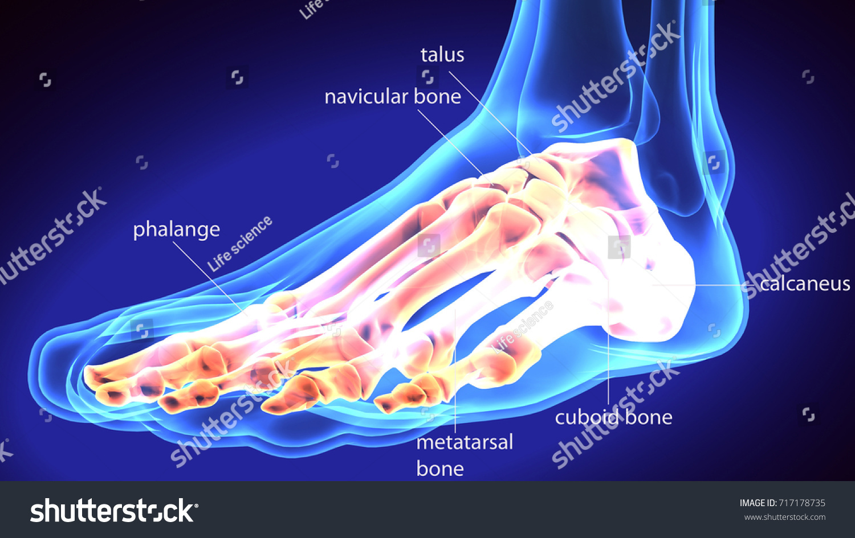3 D Illustration Human Body Feet Bone Stock Illustration 717178735 ...