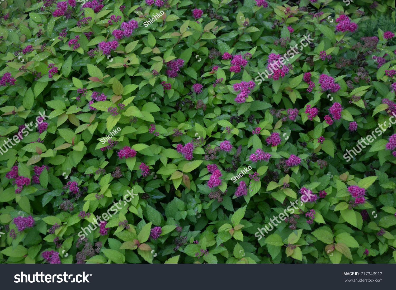 Spirea Pink Flower Bush Background Stock Photo Edit Now 717343912