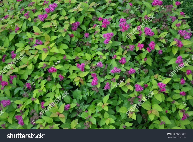 Spirea Pink Flower Bush Background Stock Photo Royalty Free