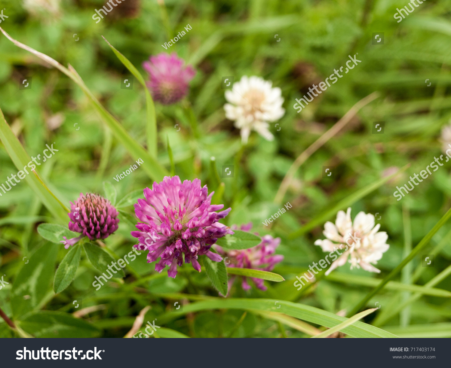 Purple Clover Flower On Green Lawn Stock Photo Edit Now 717403174