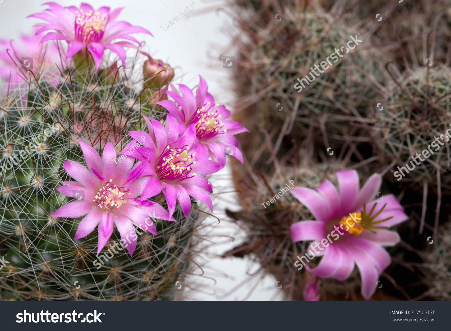Pink Flowers Of Cactus Is Blooming Very Beautiful Plant Although Its