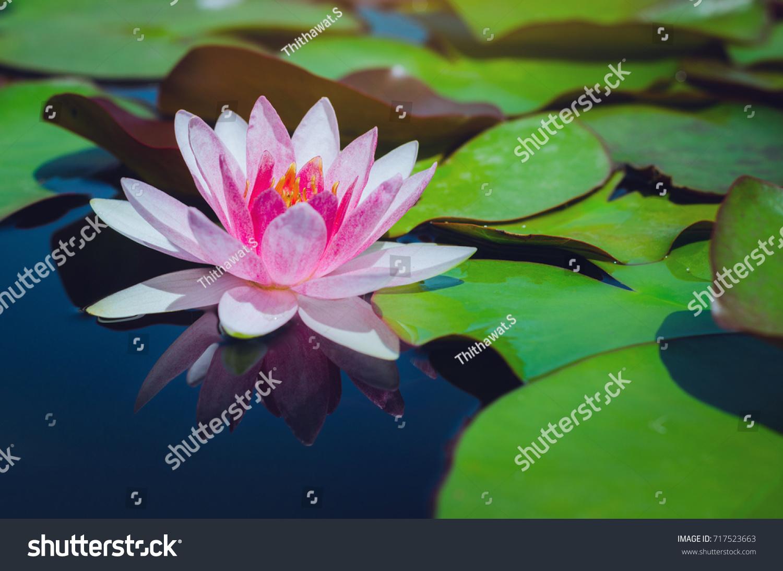 Beautiful Lotus Flower Leaves Pond Stock Photo Royalty Free