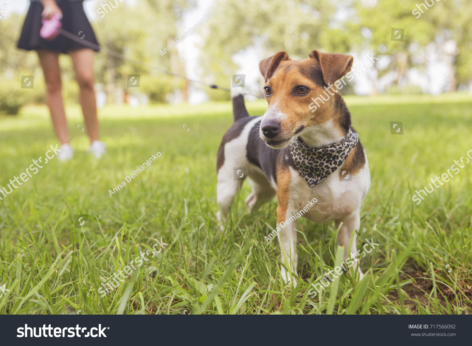 Cute beautiful slim caucasian brunette woman in casual outfit (skirt, shirt and jeans jacket) on a walk in park in summer day with her adorable jack russell dog. They full of joy, smiling and have fun #717566092