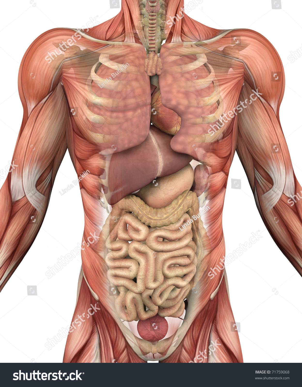 Muscles Male Torso Fadeaway Reveal Internal Stock Illustration ...