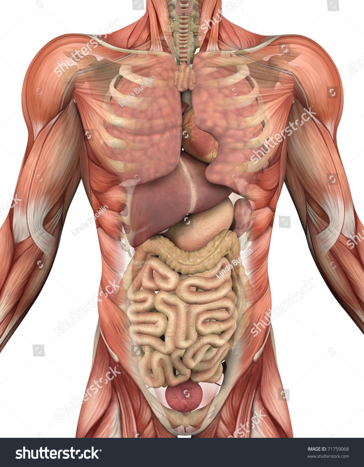 muscles male torso fadeaway reveal internal stock illustration, Muscles
