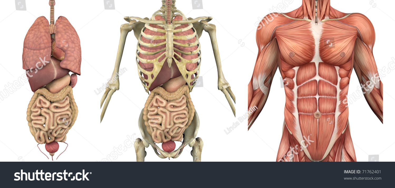 Series Overlays Depicting Internal Organs Skeleton Stock
