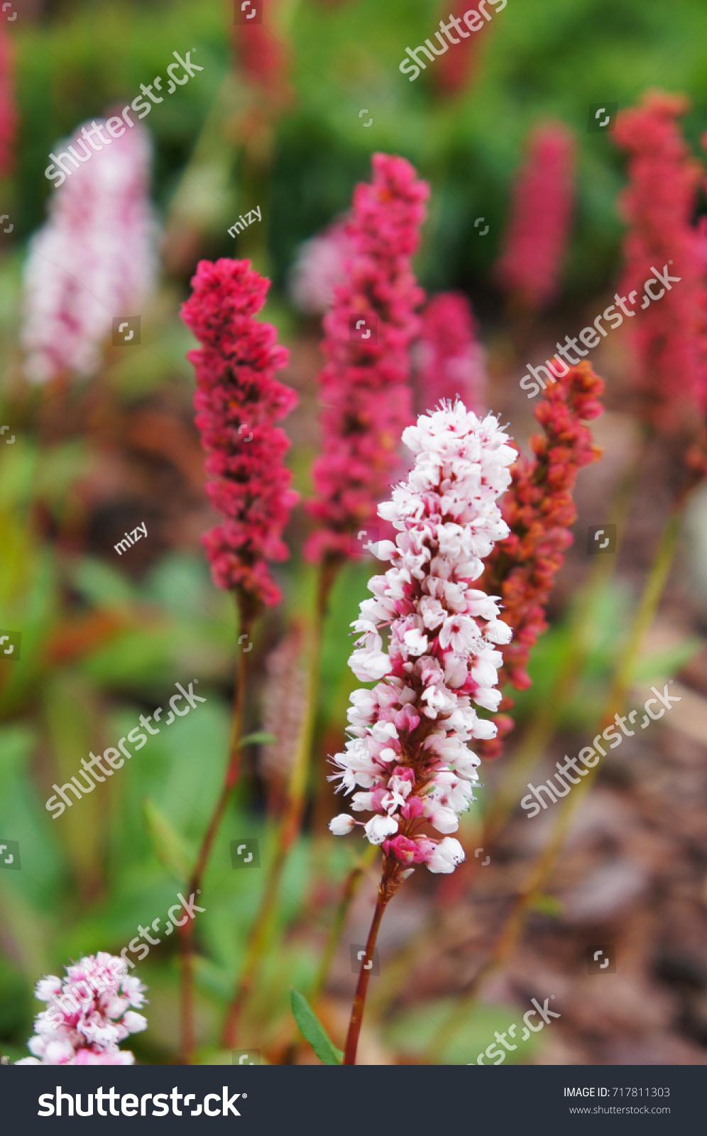 Polygonum Affine Himalayan Bistort Fleece Flower Stock Photo Edit