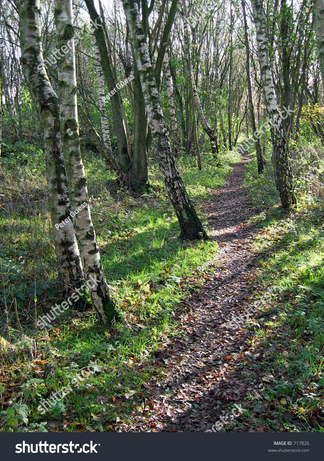 path in the birch - photo #32