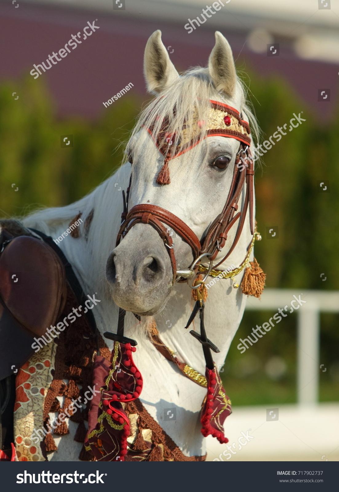 Arabian Horse Gray Stallion Traditional Tack Stock Photo Edit Now 717902737