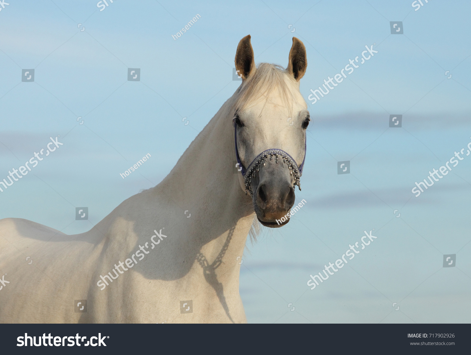 Arabian Horse Gray Stallion Traditional Tack Stock Photo Edit Now 717902926