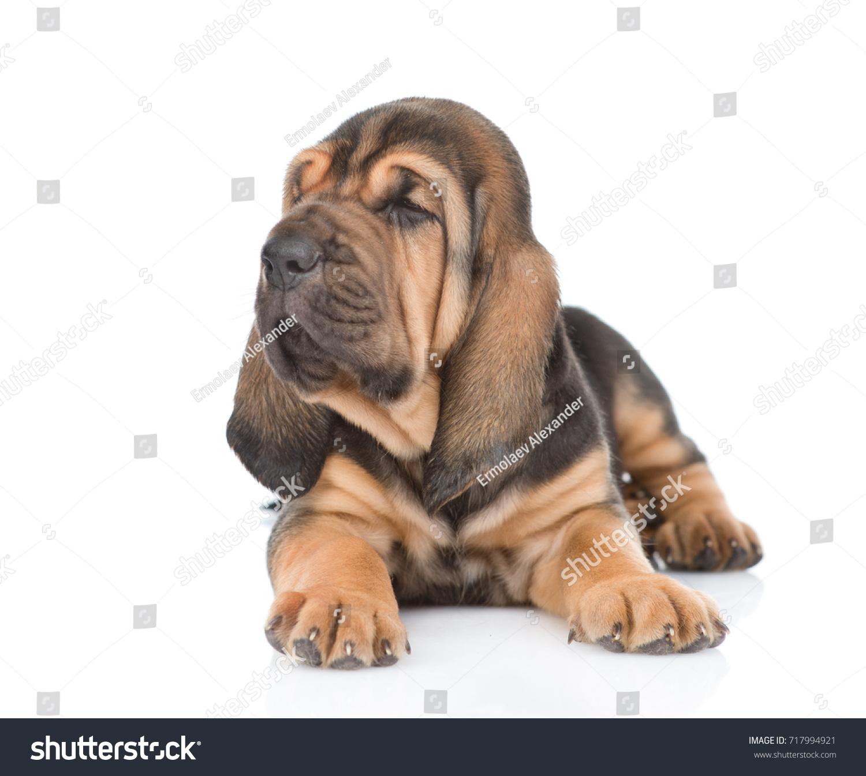 Cute Bloodhound Puppies