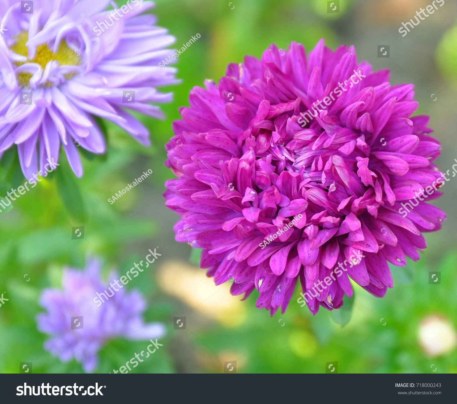 Beautiful Purple Pink Asters On Natural Stock Photo Edit Now