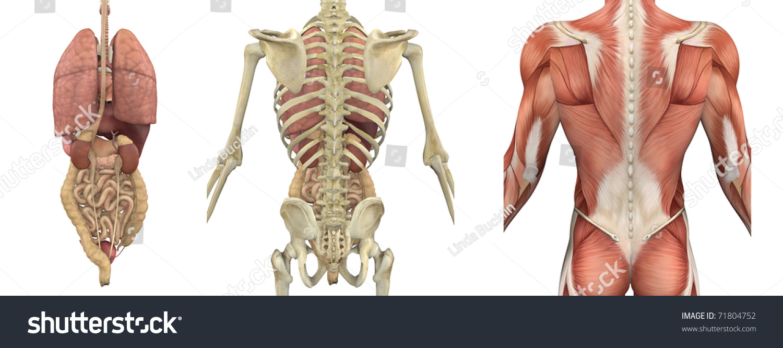 Set Anatomical Overlays Depicting Internal Organs Stock Illustration