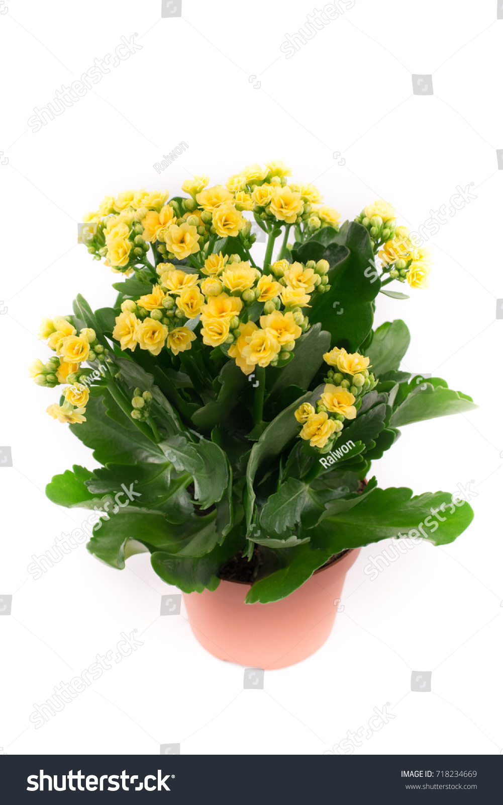 Beautiful Kalanchoe Flowers Pots Yellow Flowers Stock Photo Edit