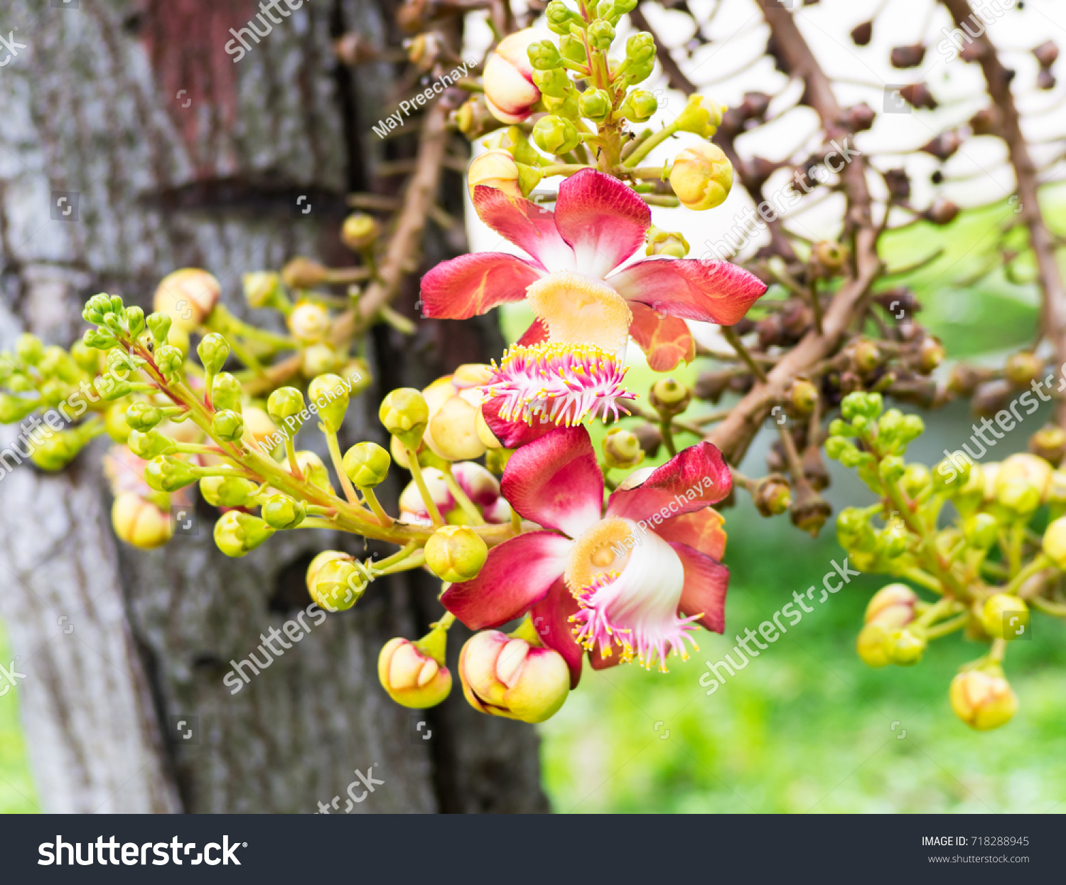 Guianensis aubl beautiful sal flowers india stock photo edit now beautiful sal flowers of india flowering flower blossom on cannonball tree izmirmasajfo