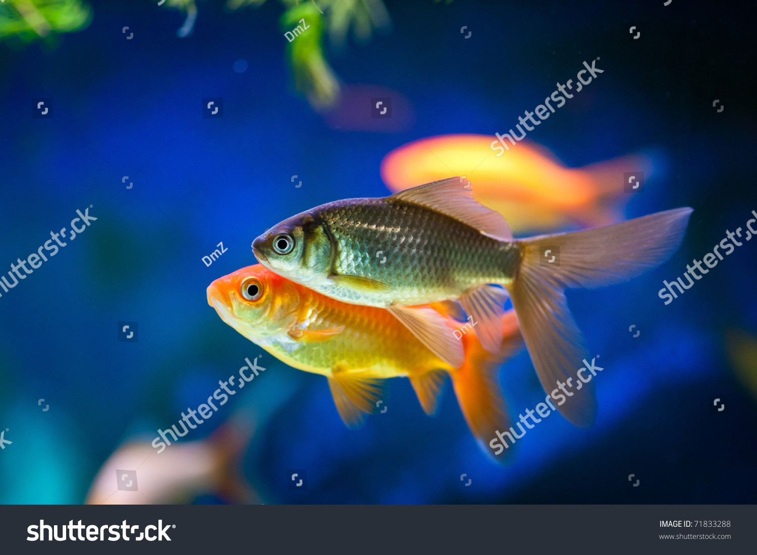 Cute little fish in an aquarium stock photo 71833288 for Cute freshwater fish