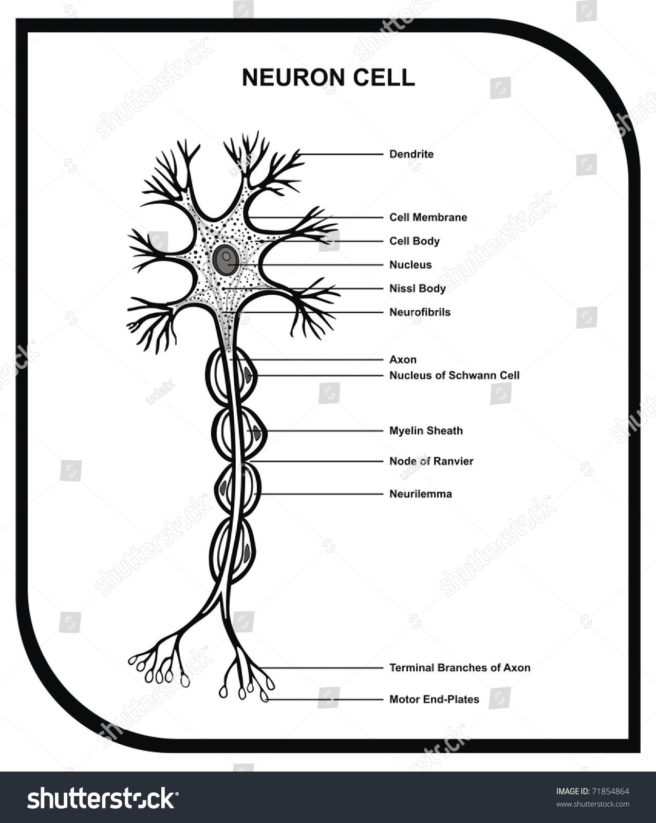 Simple neuron diagram images diagram design ideas hd wallpapers simple neuron diagram 3193 get free high quality hd wallpapers simple neuron diagram pooptronica pooptronica Choice Image