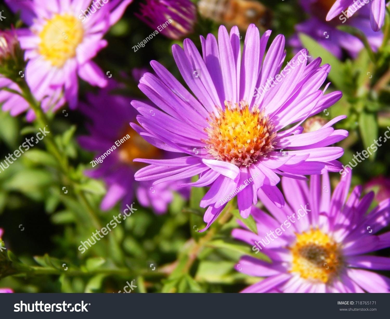 Beautiful Autumn Flowers Perennial Asters Beautiful Stock Photo