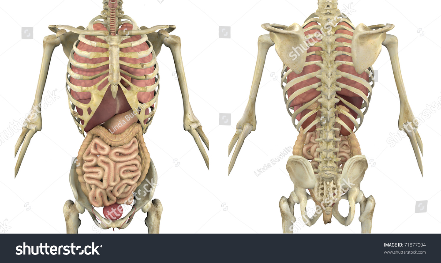 Male Skeleton Internal Organs Front Back Stock Illustration 71877004