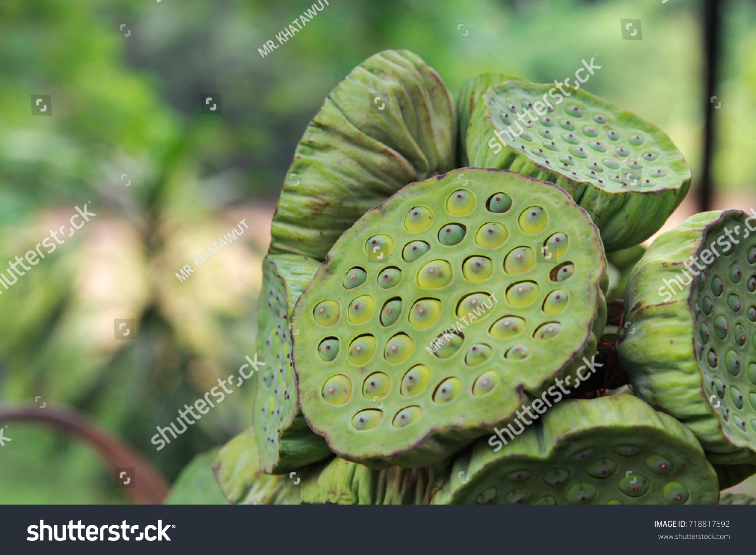 Lotus Seed Very Beneficial Patients Ischemic Stock Photo Edit Now