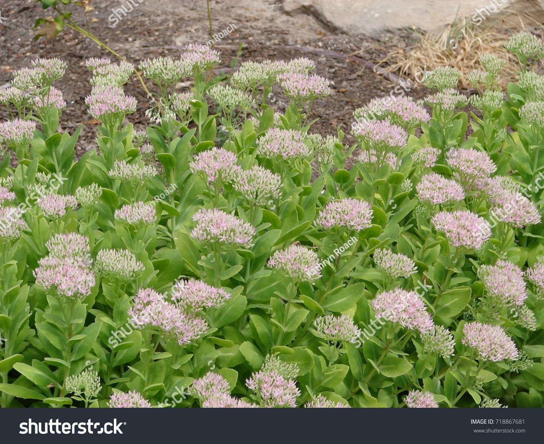 Sedum Pink Flowers Stock Photo Royalty Free 718867681 Shutterstock