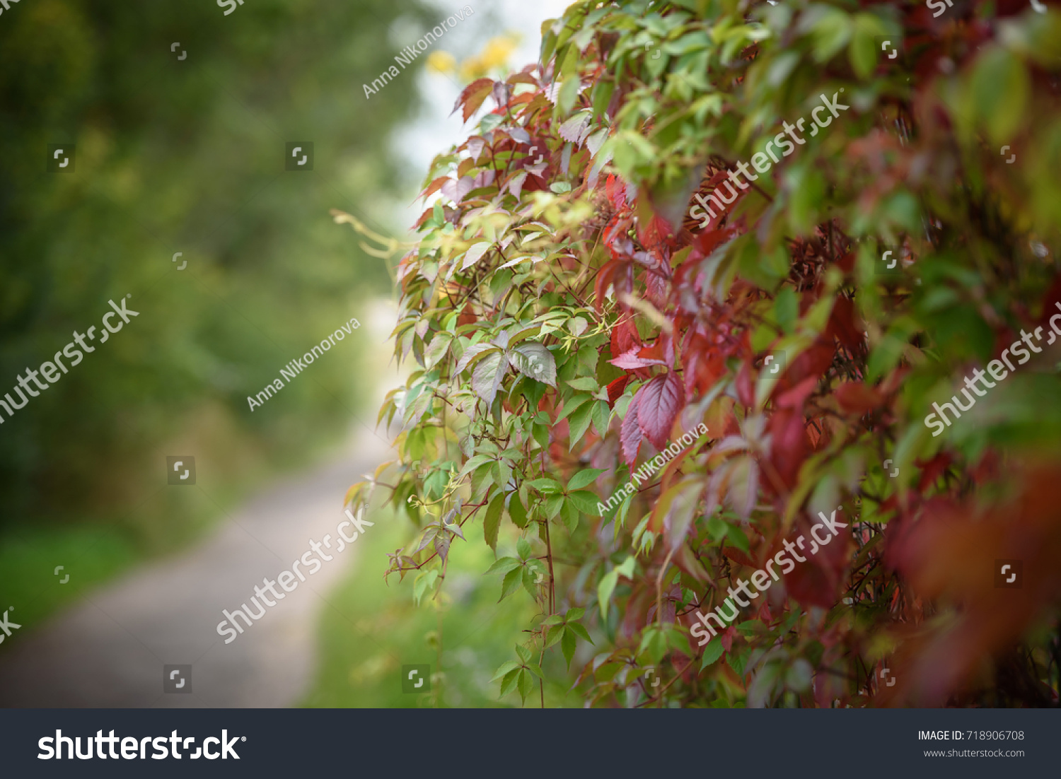 Red Virginia Creeper Leaves On Wire Stock Photo 718906708 ...