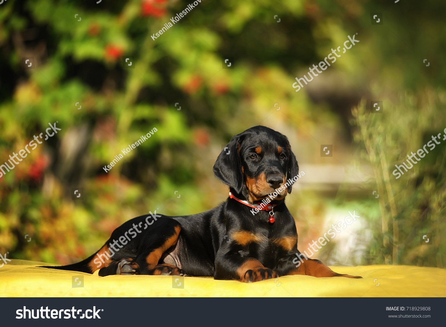 Funny Puppy Doberman Uncropped Ears Lying Stock Photo Edit Now 718929808