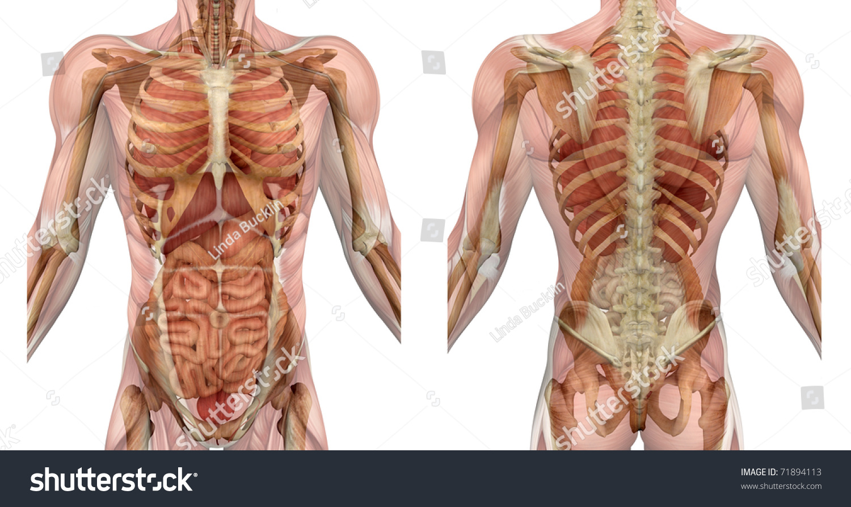 Muscles Male Torso Front Back Semitransparent Stock Illustration ...