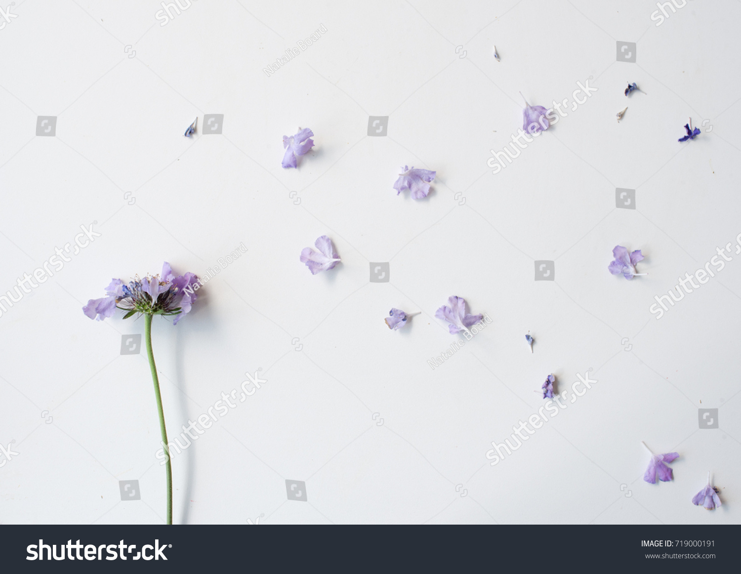 High Angle View Wilting Pincushion Flower Stock Photo Edit Now