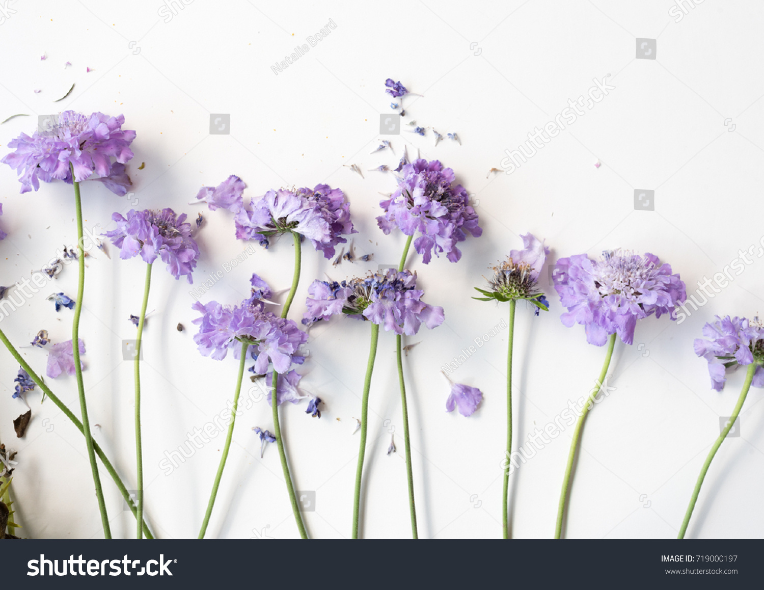 High Angle View Wilting Pincushion Flowers Stock Photo Edit Now
