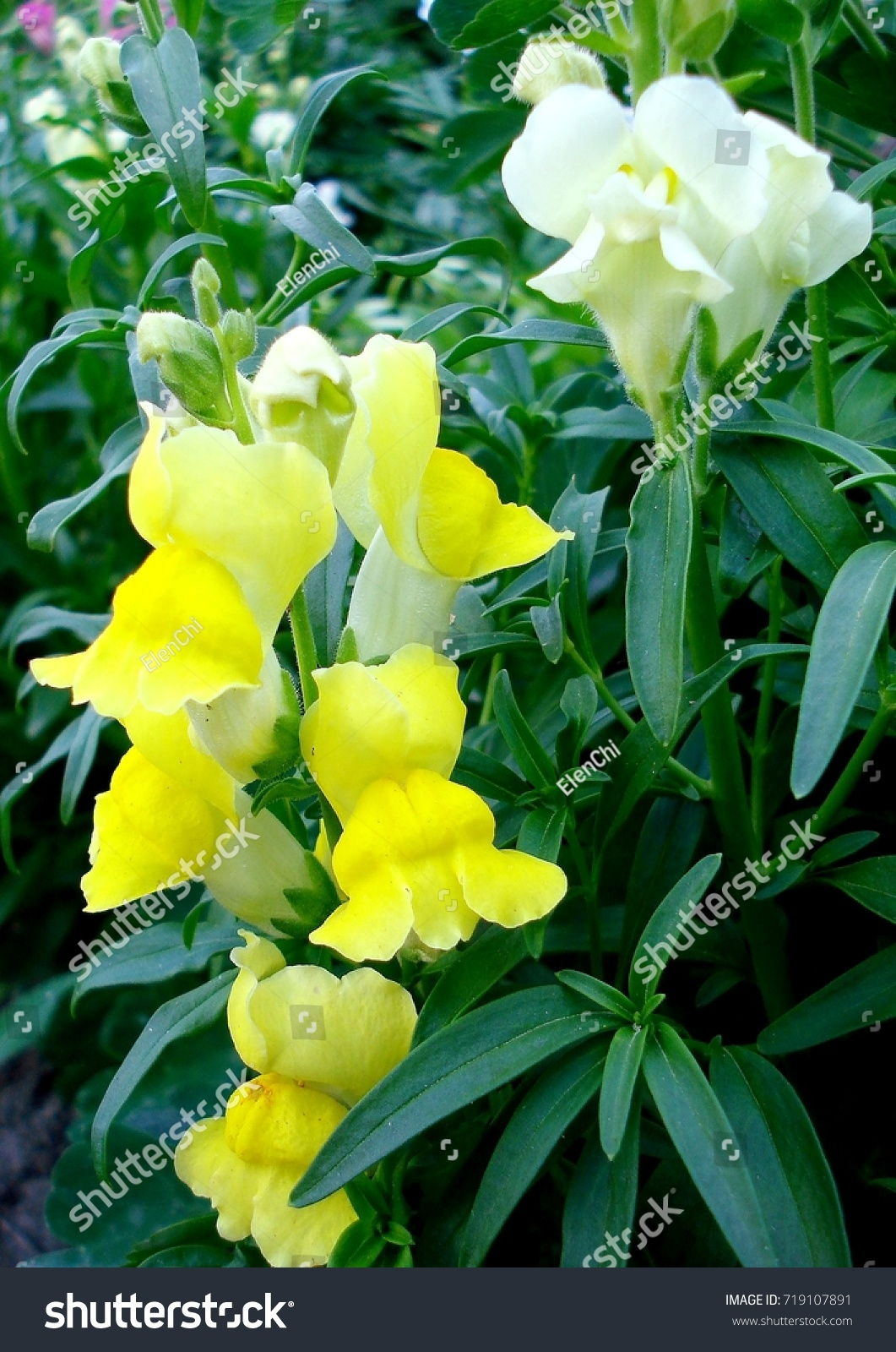 Yellow White Flowers Snapdragon Antirrhinum Closeup Stock Photo