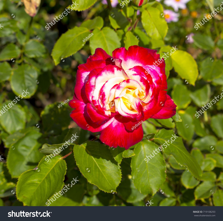 Double Delight Hybrid Tea Rose Large Stock Photo (Royalty Free ...