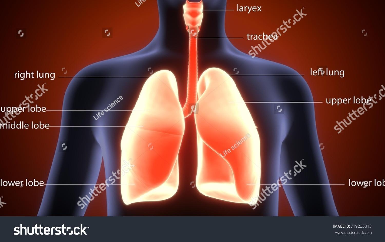3 D Illustration Human Body Lungs Anatomy Stock Illustration ...