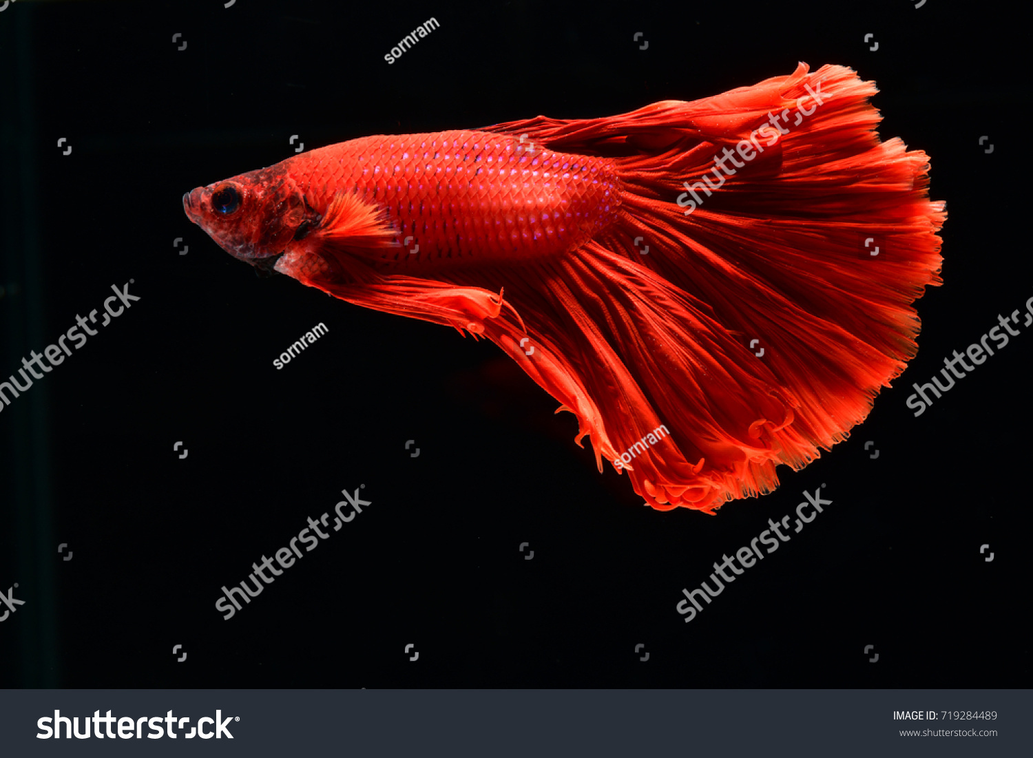 Macro Close Fighting Fish Red Color Stock Photo (Edit Now)- Shutterstock