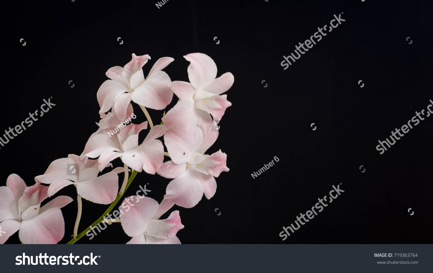 Orchid Flower Rattan Orchid Pink Flower Black Background Ez Canvas