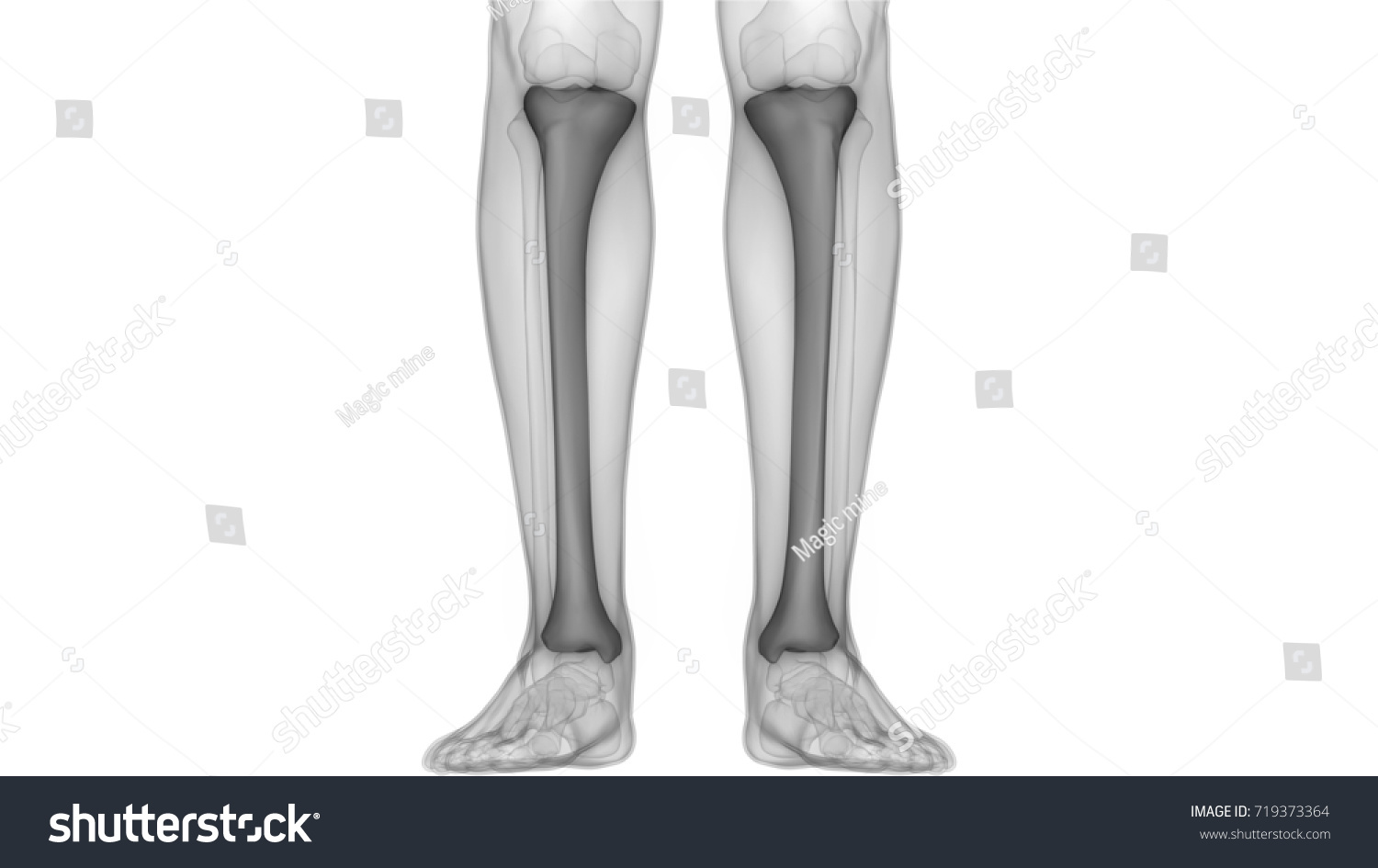 Human Skeleton Bones Anatomy Tibia 3 D Stock Illustration - Royalty ...